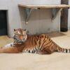 tygrys, tygrys w opolu, tygrysy w opolu, zoo opole, opolskie zoo, tygrys w opolskim zoo, zoo opole tygrys, tygrysek, Po blisko 25 latach do opolskiego zoo powrócił tygrys!